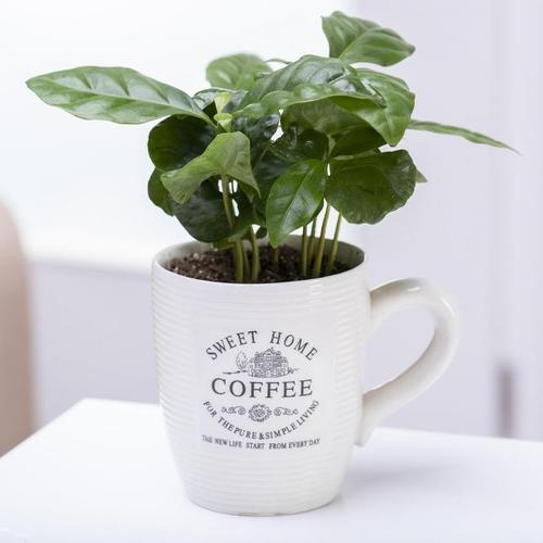 Coffea Arabica mit Kaffeetasse, im ca. 7 cm-Topf