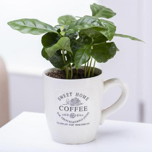 Coffea Arabica inklusive Kaffeetasse, im ca. 7 cm-Topf