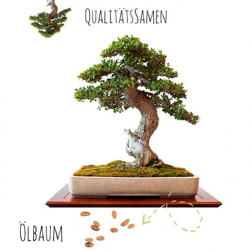 Bonsai Samen Ölbaum