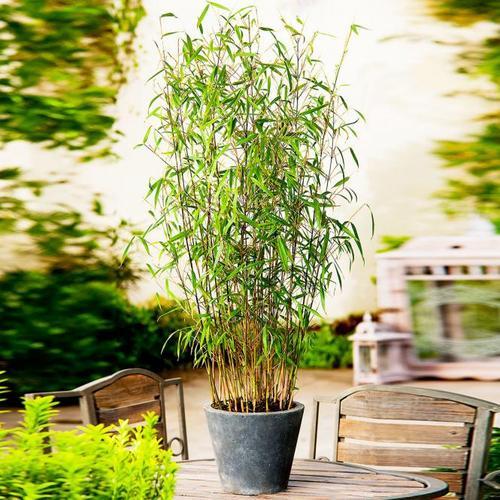 Bambus Asian Wonder, im ca. 17 cm-Topf