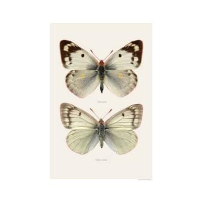 Liljebergs - Macro Photography Pieridae White - 30x40cm   paper