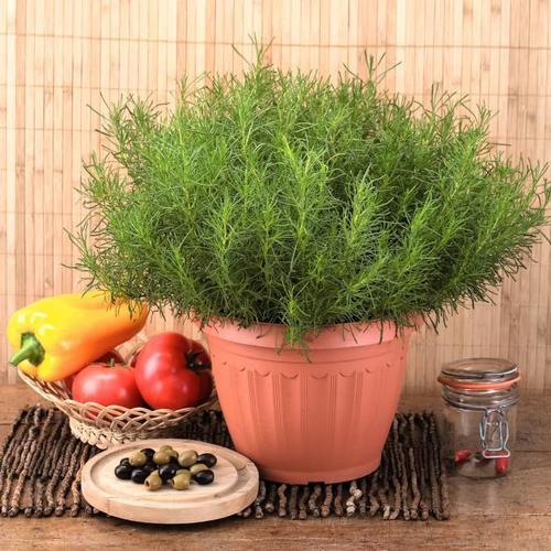 Kräuterpflanze Olivenkraut Olivia, im ca. 12 cm-Topf