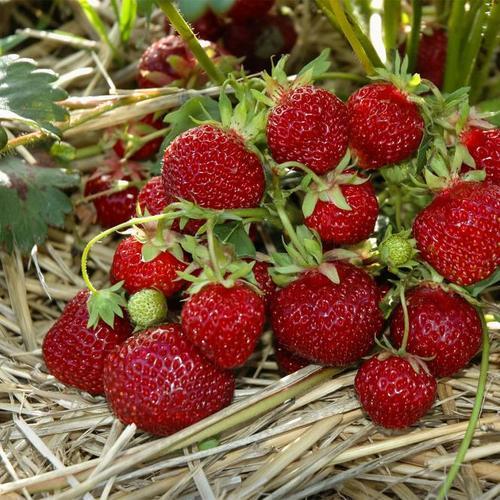Erdbeere Praline 12er-Set, im ca. 7 cm-Topf