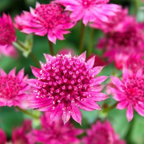 Große Sterndolde Pink Joyce