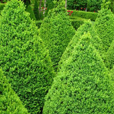 """Boxwood Green Mountain Hedge - 5 Pack - Dormant 12-18"""""""