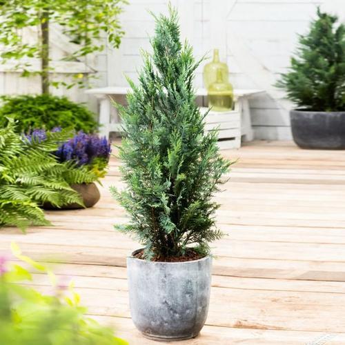 Gartenzypresse, blau, im ca. 17 cm-Topf