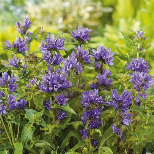 Blaue Knäuelglockenblume, im ca. 9 cm-Topf