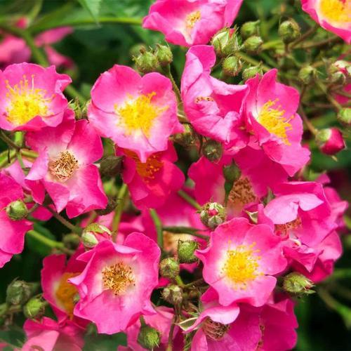 Kletterrose, rosa, im ca. 24 cm-Topf