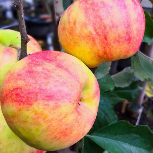 Apfel Karneval(S), im ca. 24 cm-Topf