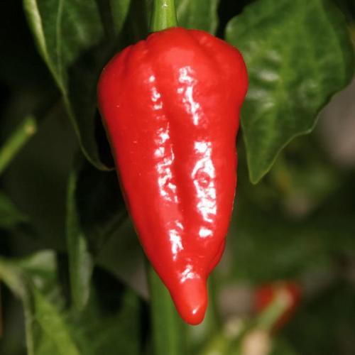 """Chilipflanze Indischer Chili Dorset """"Schärfster Chili der Welt"""", im ca. 11 cm-Topf"""