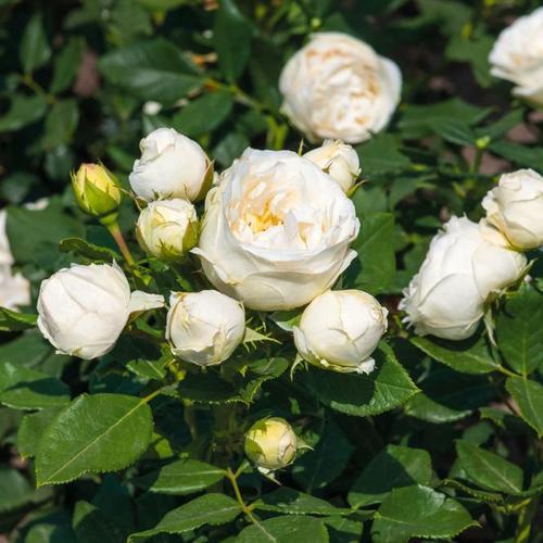 Edelrose Pearl Vaza, im ca. 22 cm-Topf