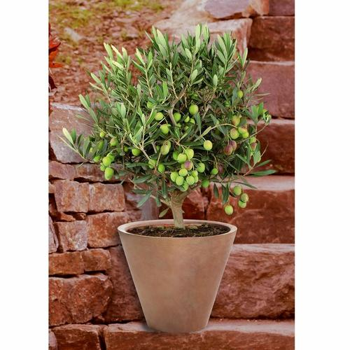 BCM Olivenbaum grün Pflanzen Garten Balkon