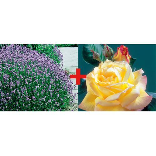 BCM Beetpflanze Rose Peace & Lavendel, (Set) bunt Beetpflanzen Pflanzen Garten Balkon