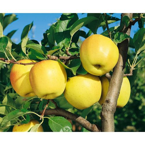 BCM Obstpflanze Golden Delicious Apfel, 100 cm Lieferhöhe grün Obst Pflanzen Garten Balkon