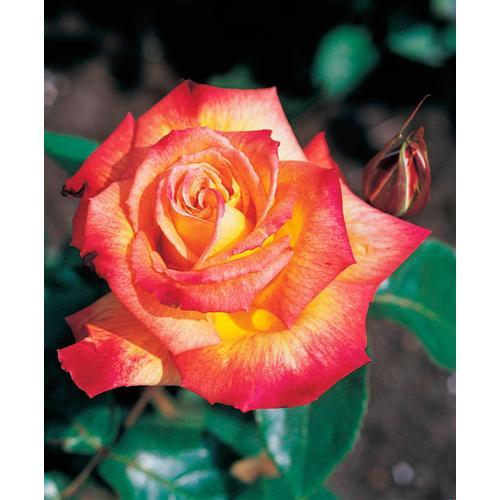 BCM Beetpflanze Rose Rumba rot Beetpflanzen Pflanzen Garten Balkon