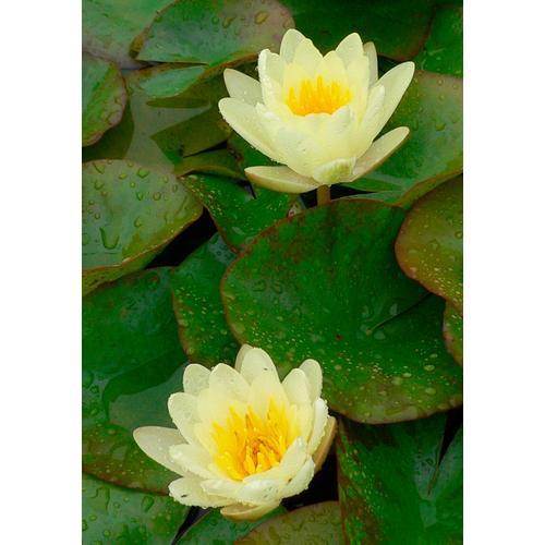 BCM Wasserpflanze Seerose Colonel A.J.Welch gelb Wasserpflanzen Pflanzen Garten Balkon
