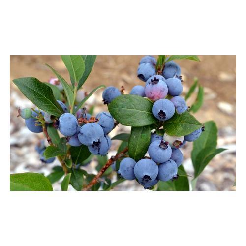Blaubeere-Pflanze: 3