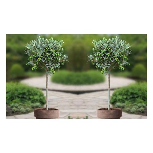 2x Olivenbaum 100-120 cm