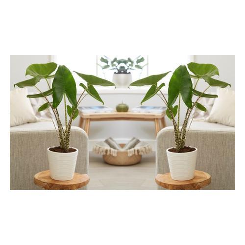 XL Alocasia Zebrina Zimmerpflanze