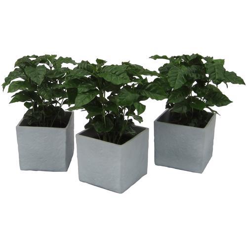 Dominik Zimmerpflanze Kaffee-Pflanzen, Höhe: 30 cm, 3 Pflanzen in Dekotöpfen grün Zimmerpflanzen Garten Balkon