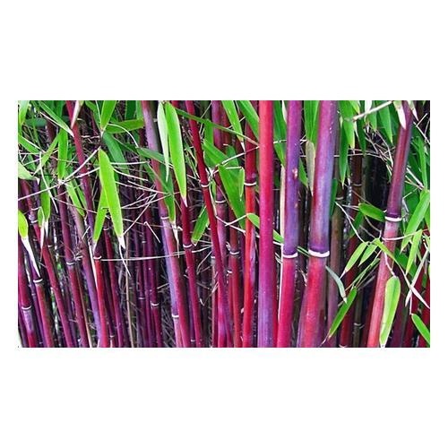 Roter Bambus: 6