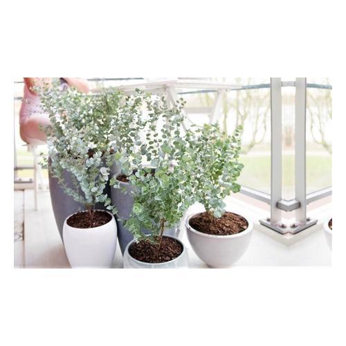 Eukalyptus Gunni: 2