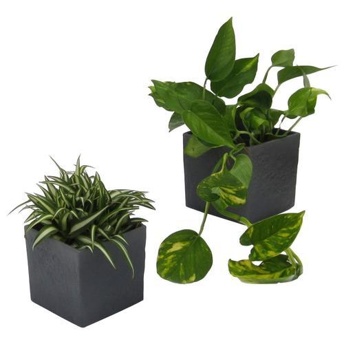 Dominik Zimmerpflanze Grünpflanzen-Set, Höhe: 15 cm, 2 Pflanzen in Dekotöpfen grün Garten Balkon