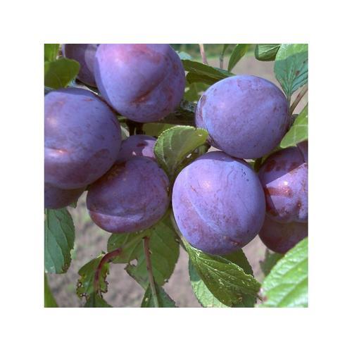 Pflaume »Anna Späth«, Buschbaum, selbstfruchtend, saftig und würzig-süß, späte Ernte