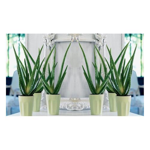 Aloe Vera: 6 Pflanzen