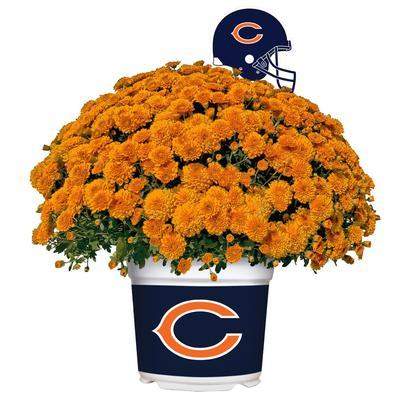 Chicago Bears Team Color Mum