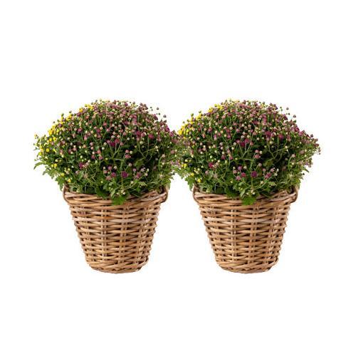 2 Chrysanthemen-Büsche im Rattankorb