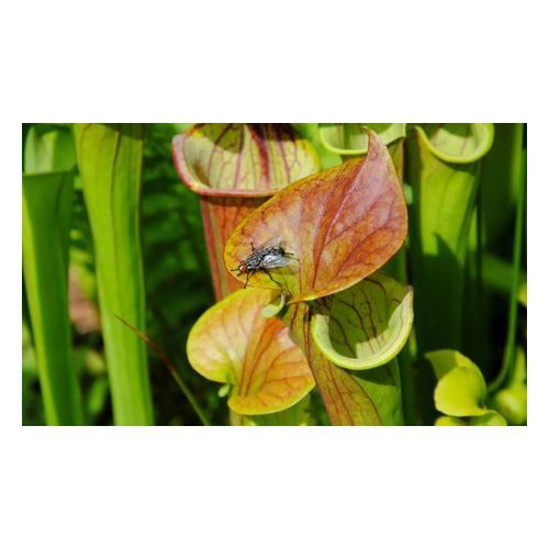 Papageien-Schlauchpflanze: 2 Pflanzen