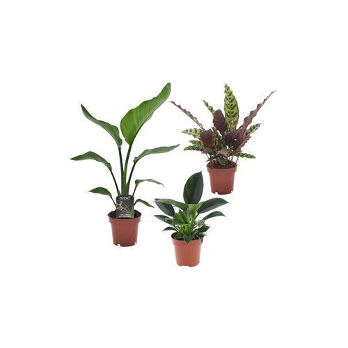 3er-Set Zimmerpflanzen