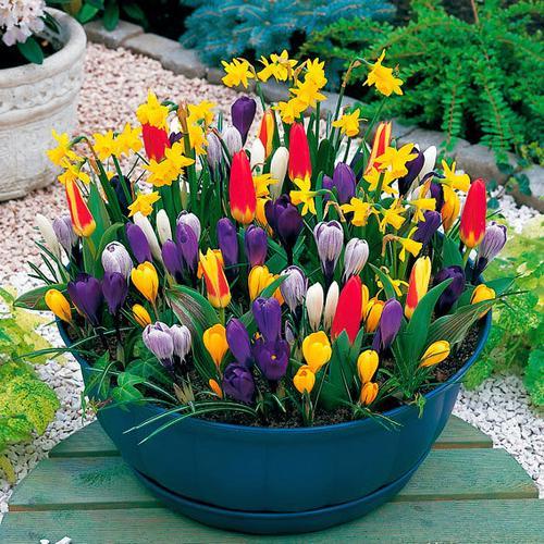 Blumenzwiebel-Set Frühlingsboten für Töpfe und Schalen