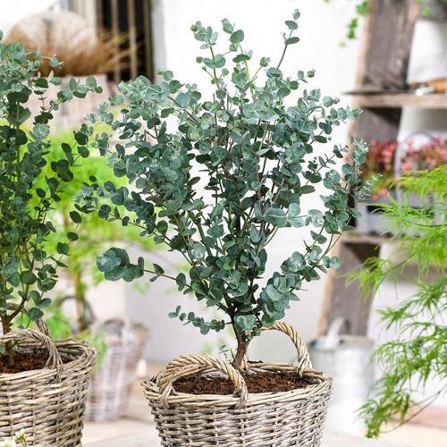 Eis-Eukalyptus Azura, im ca. 20 cm-Topf