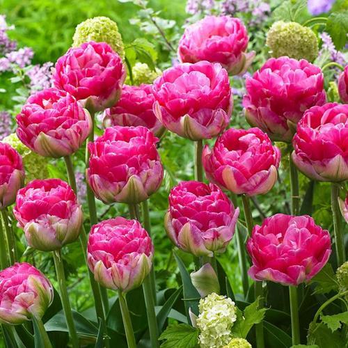 Tulpe Pinksize