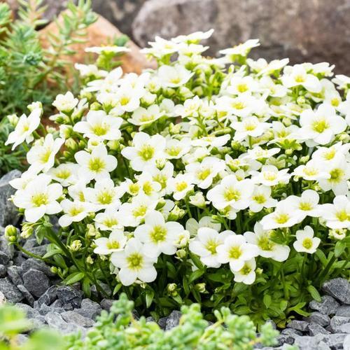 Moossteinbrech White, im ca. 9 cm-Topf