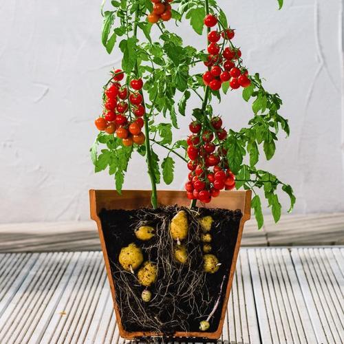 Tomaten-Kartoffelpflanze TomTato, veredelt, im ca. 12 cm-Topf