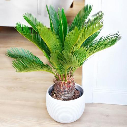 Palmfarn, im ca. 18 cm-Topf