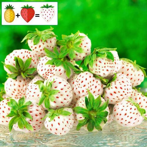 Ananas-Erdbeere Pineberry Snow White, im ca. 9 cm-Topf
