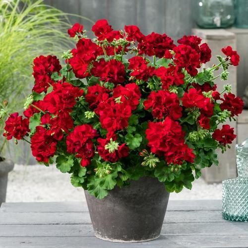 Calliope® Geranie Dark Red, im ca. 12 cm-Topf